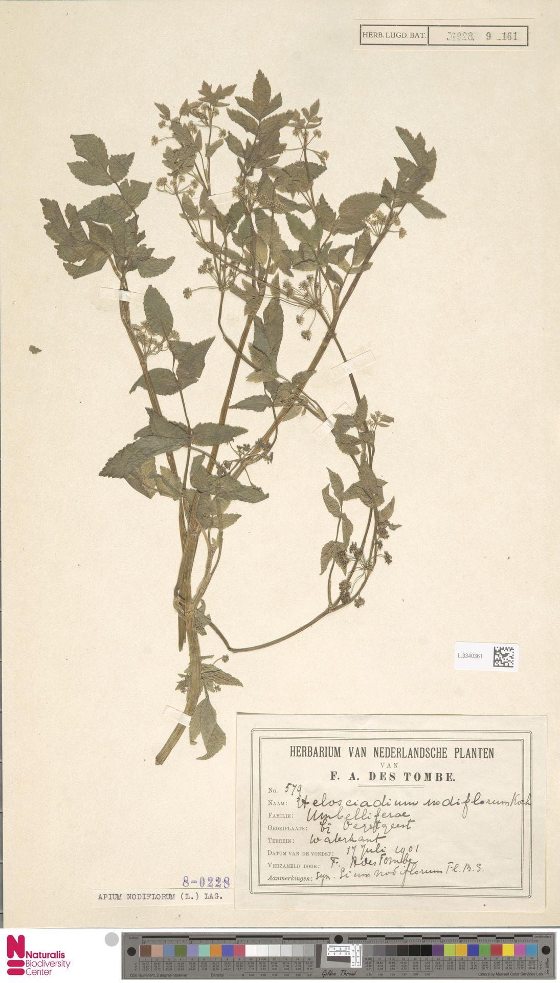 L.3340361 | Apium nodiflorum (L.) Lag.