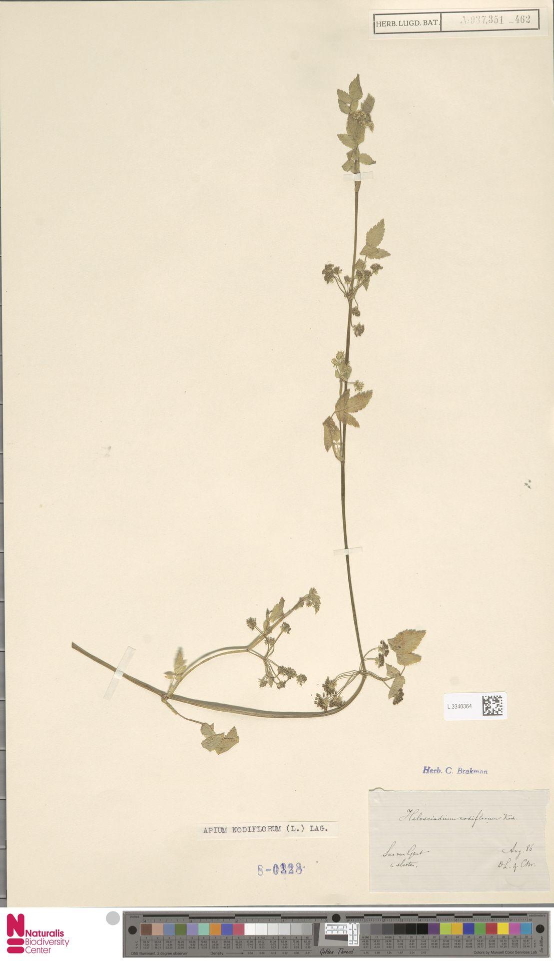 L.3340364   Apium nodiflorum (L.) Lag.