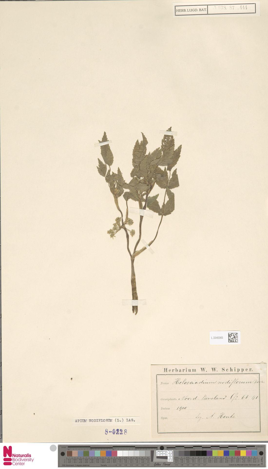 L.3340365 | Apium nodiflorum (L.) Lag.