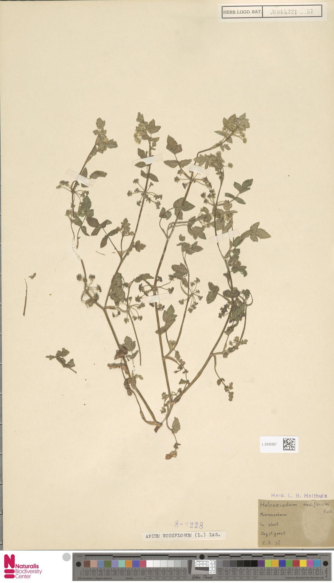 L.3340367 | Apium nodiflorum (L.) Lag.