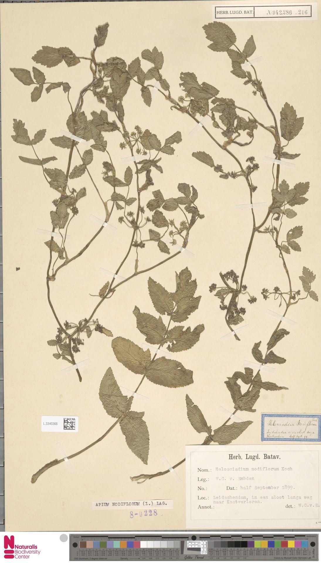 L.3340368 | Apium nodiflorum (L.) Lag.