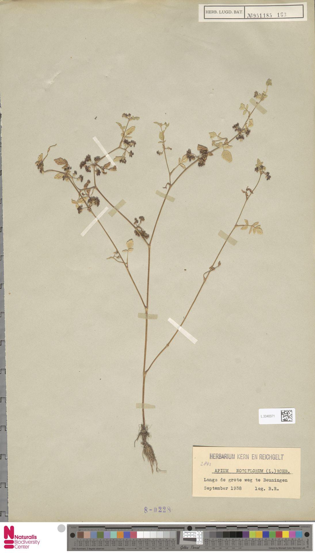 L.3340371 | Apium nodiflorum (L.) Lag.