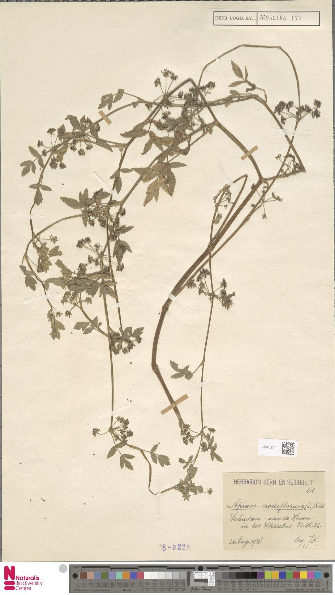 L.3340374   Apium nodiflorum (L.) Lag.