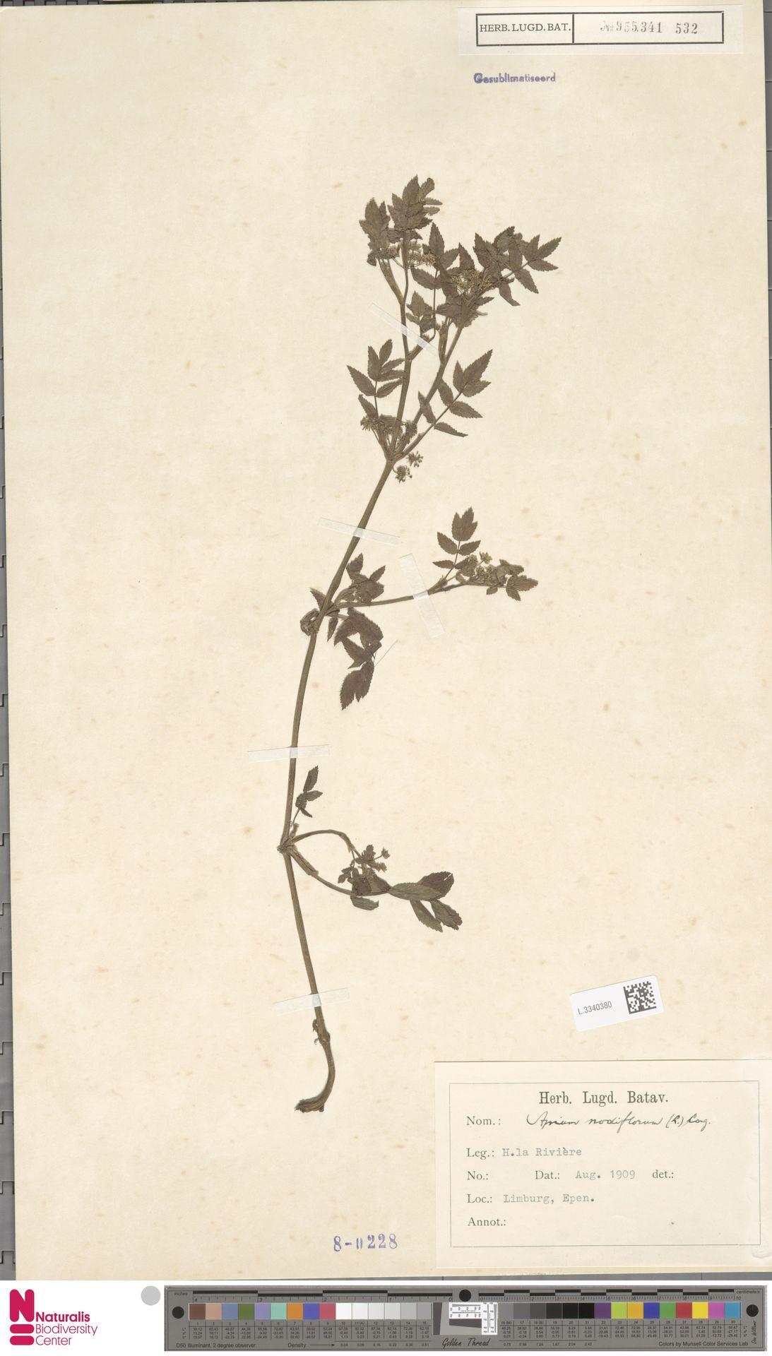 L.3340380   Apium nodiflorum (L.) Lag.