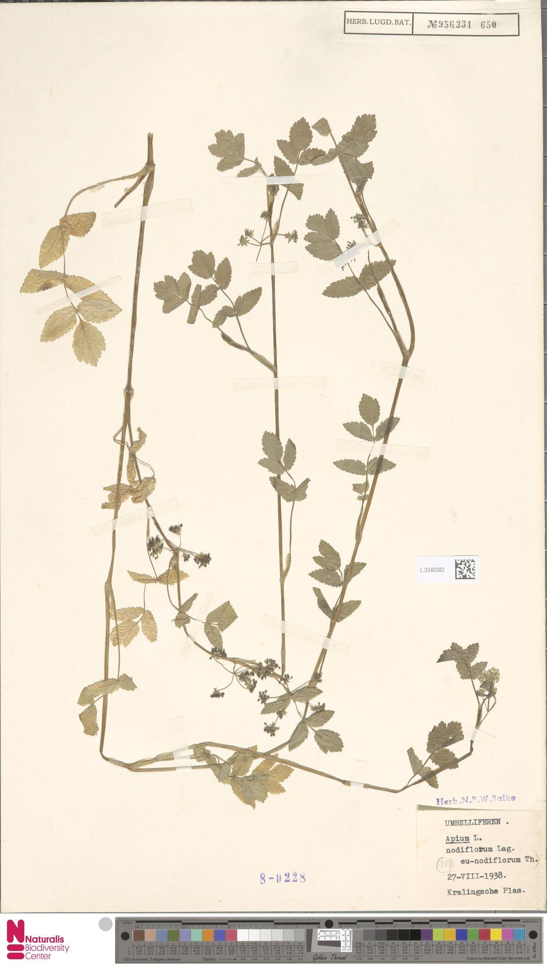 L.3340382 | Apium nodiflorum (L.) Lag.