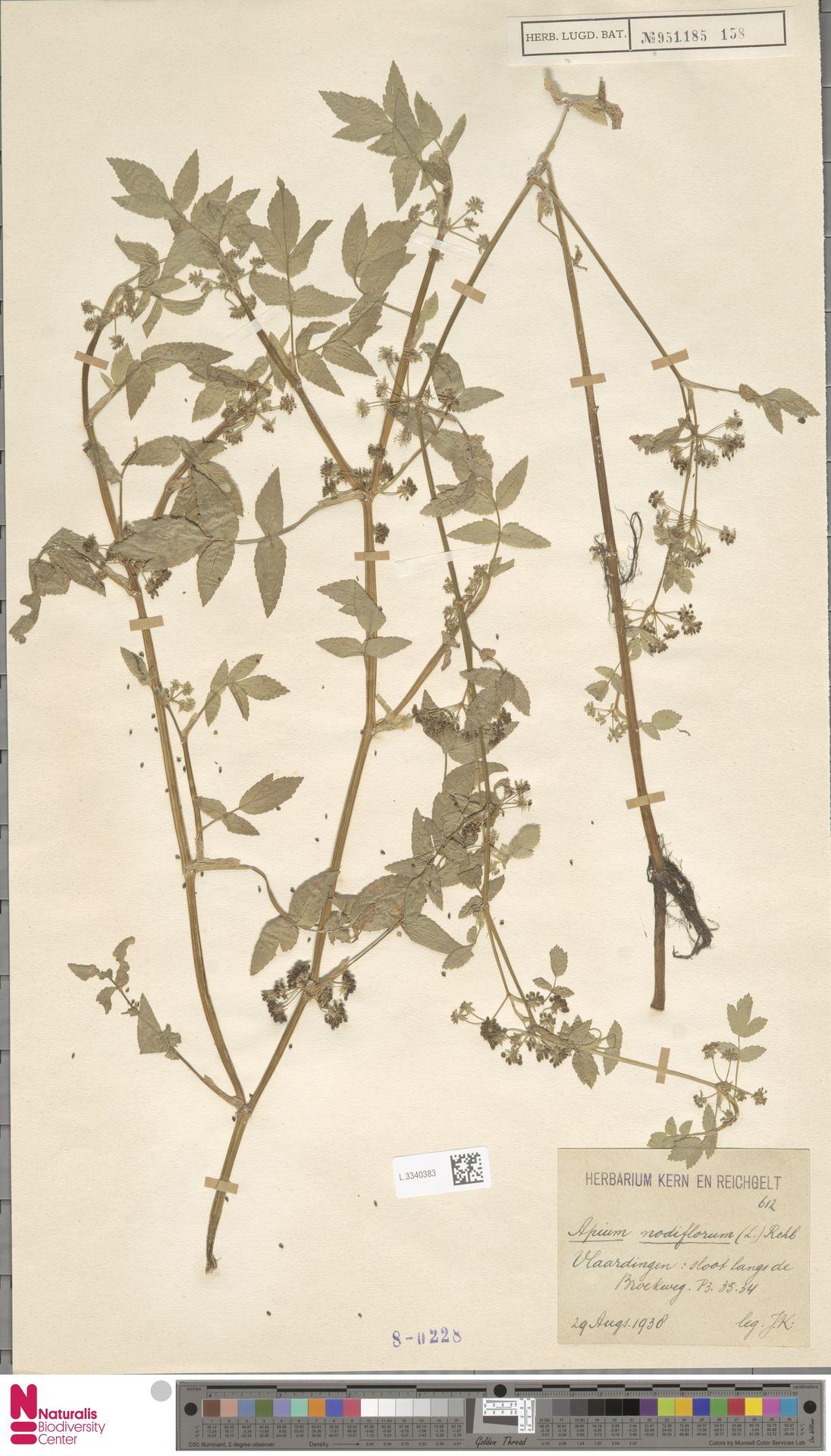 L.3340383   Apium nodiflorum (L.) Lag.