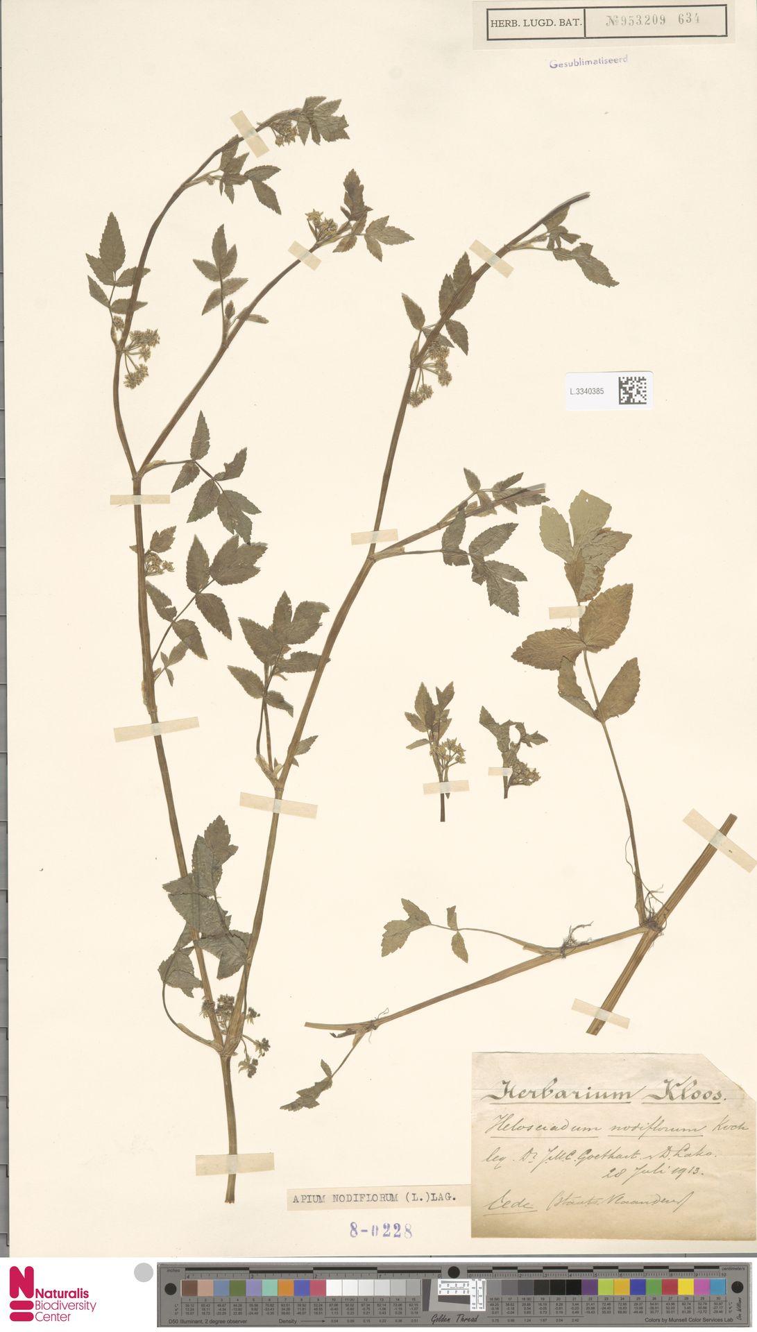 L.3340385 | Apium nodiflorum (L.) Lag.