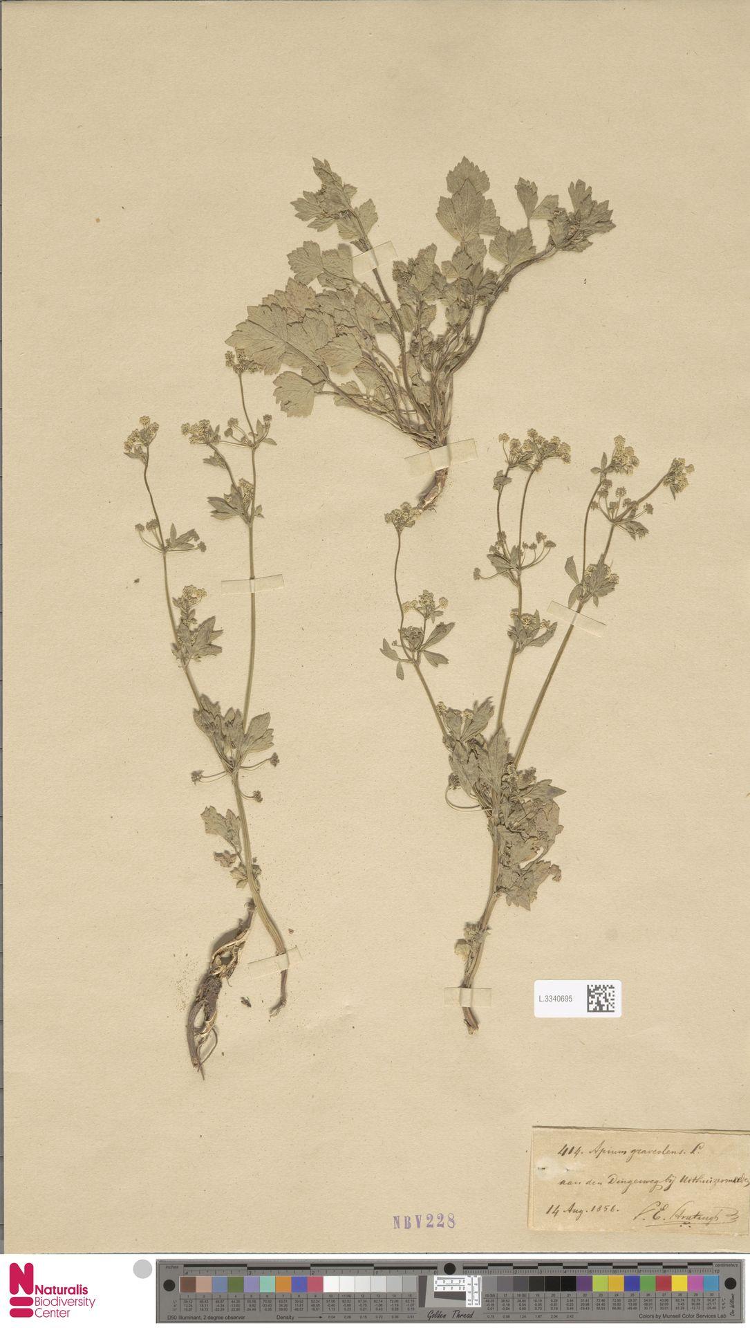 L.3340695 | Apium graveolens L.