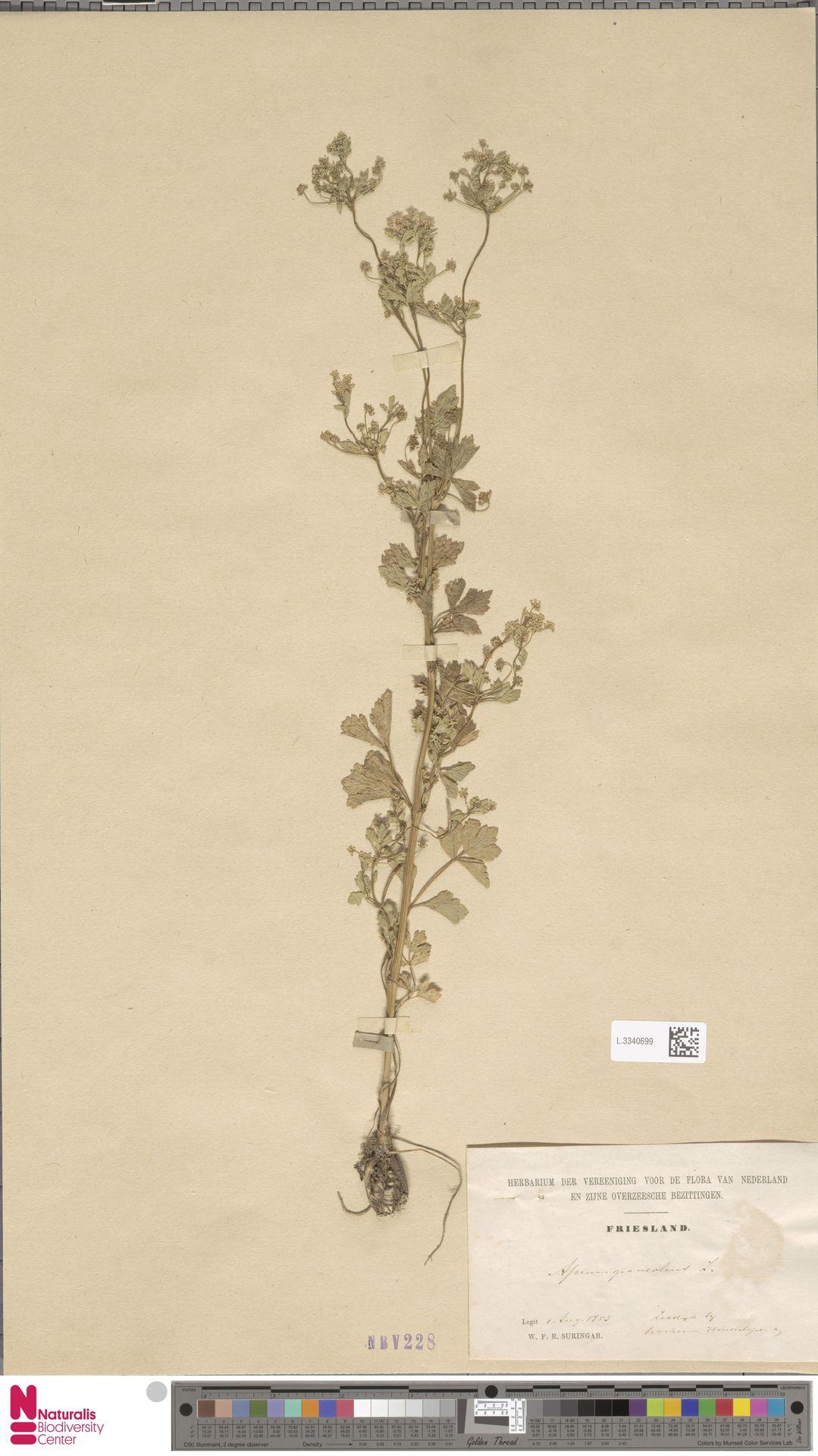 L.3340699 | Apium graveolens L.