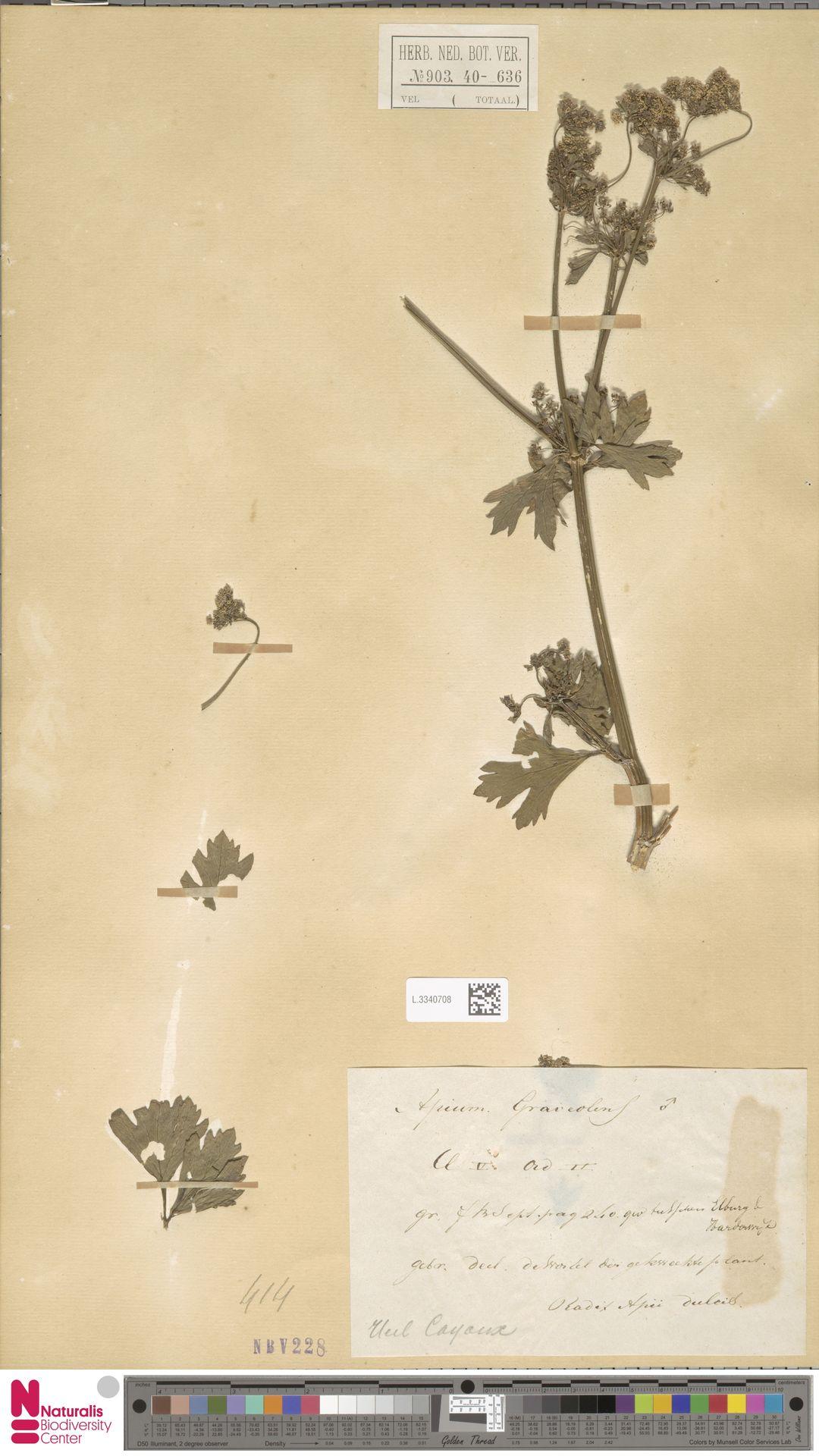 L.3340708 | Apium graveolens L.
