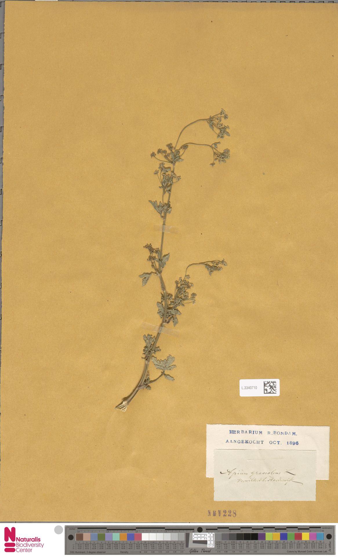 L.3340710 | Apium graveolens L.