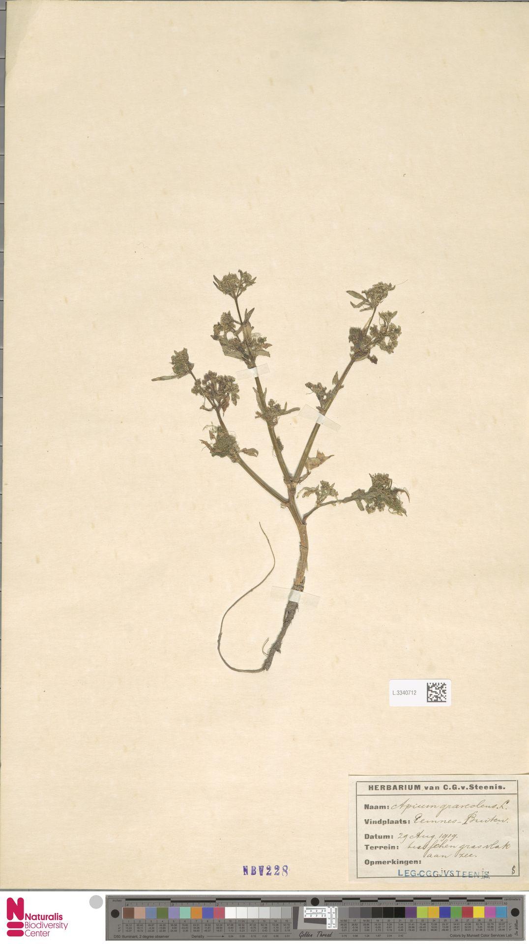 L.3340712 | Apium graveolens L.