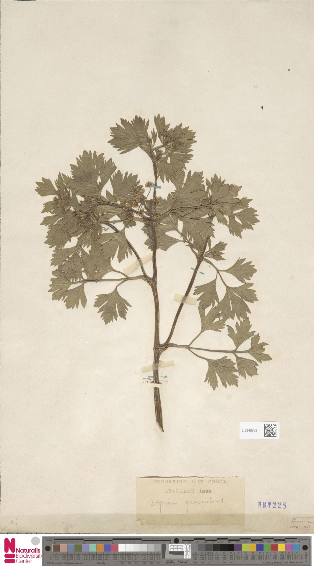 L.3340722 | Apium graveolens L.