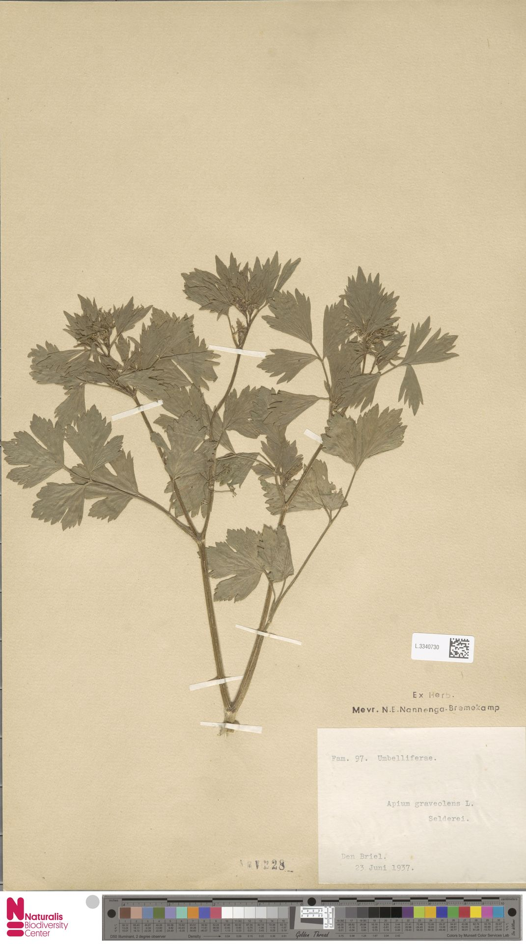 L.3340730 | Apium graveolens L.