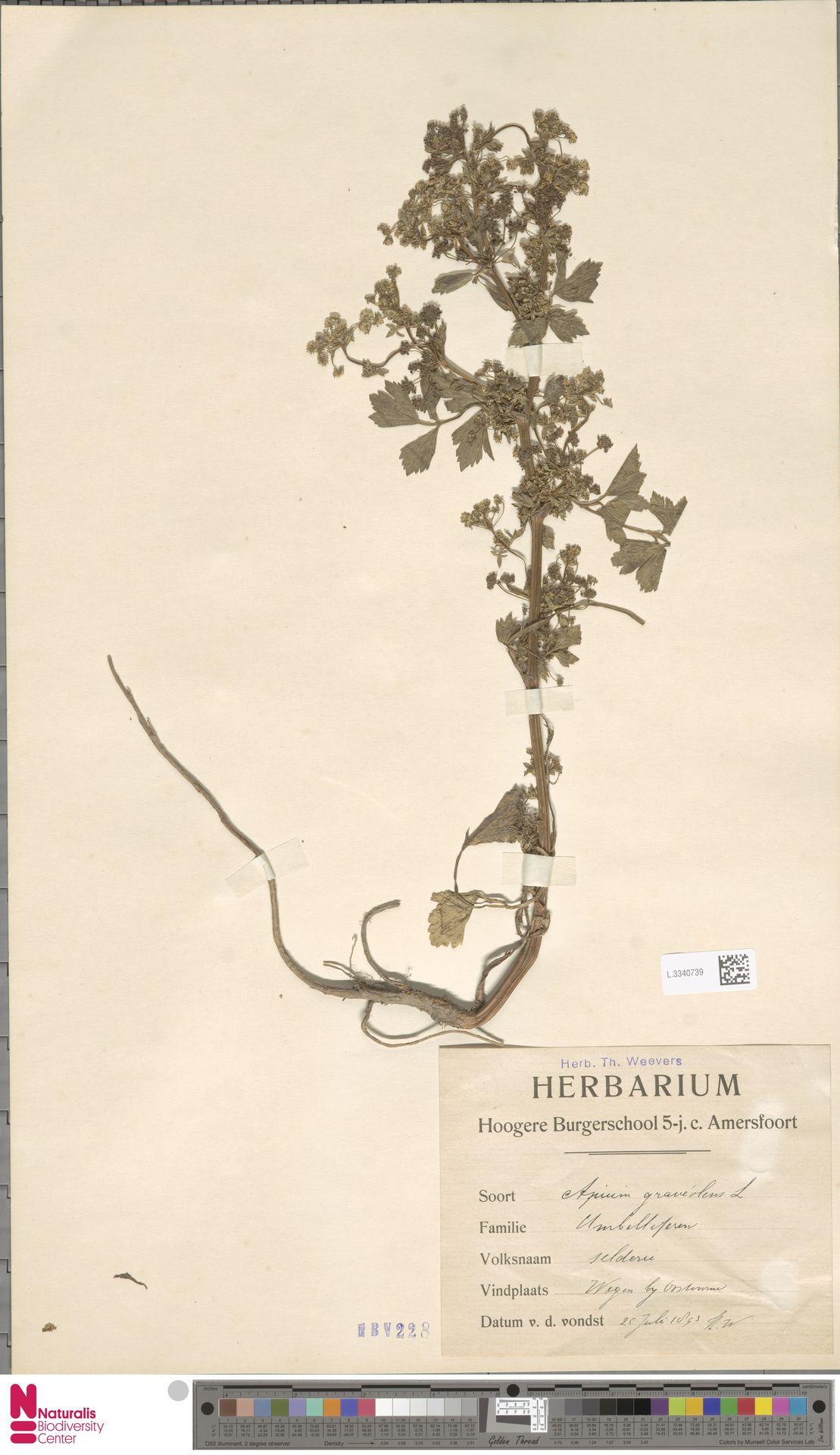 L.3340739 | Apium graveolens L.