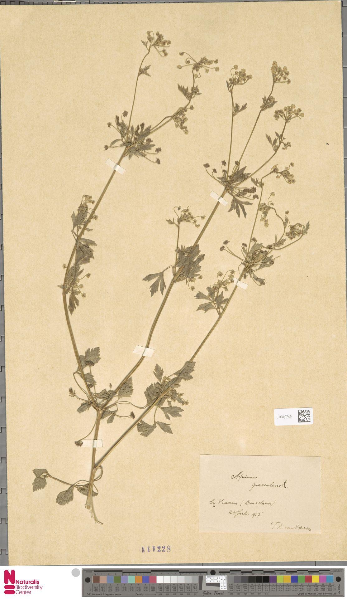 L.3340749 | Apium graveolens L.