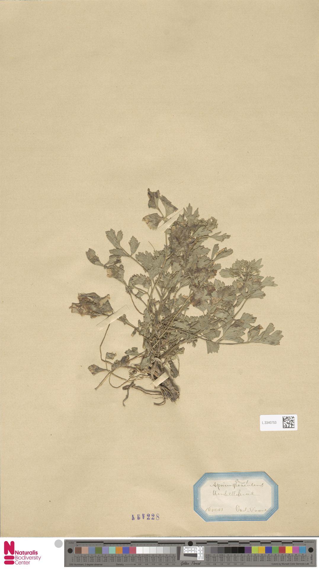 L.3340753 | Apium graveolens L.