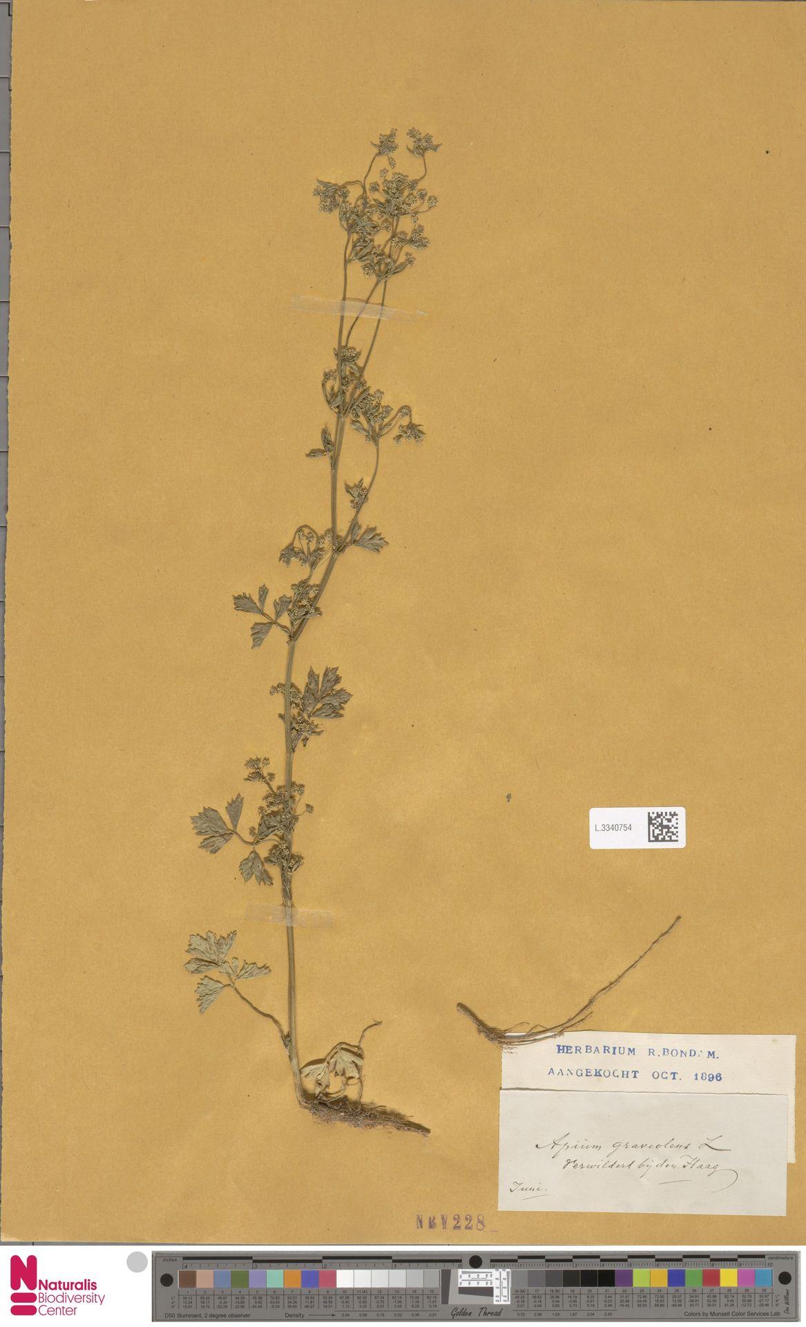 L.3340754 | Apium graveolens L.