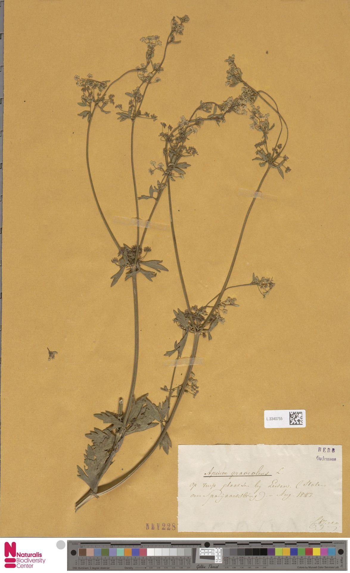 L.3340755 | Apium graveolens L.