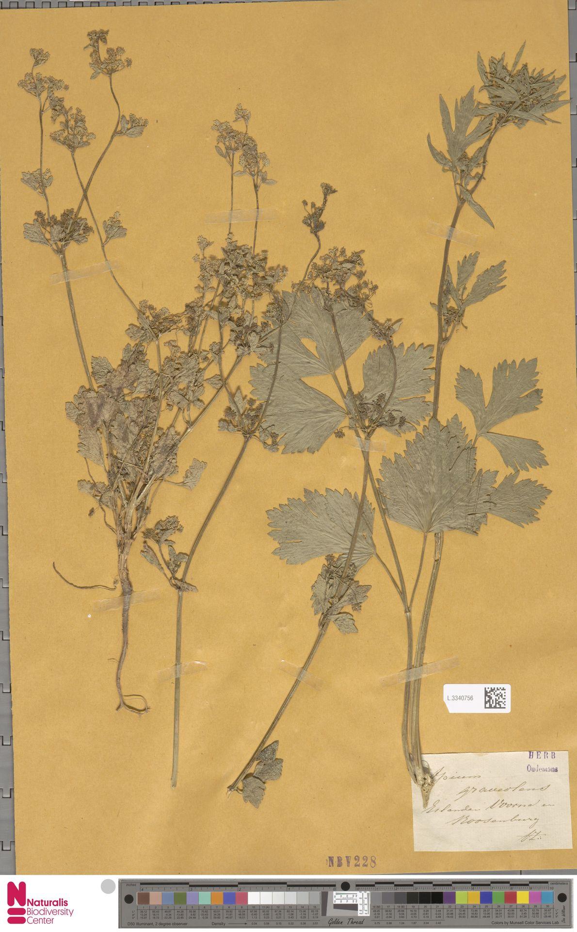 L.3340756 | Apium graveolens L.