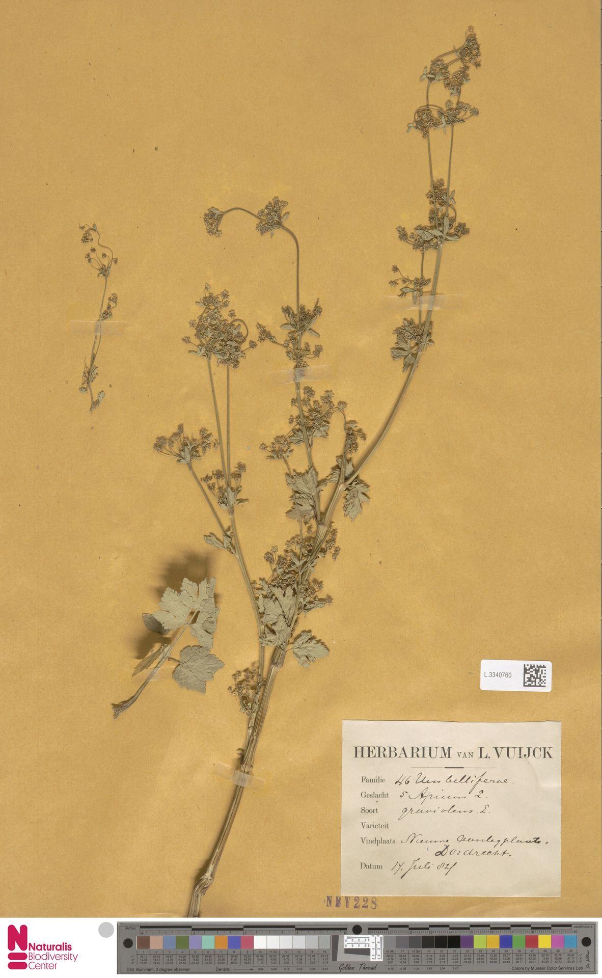 L.3340760 | Apium graveolens L.