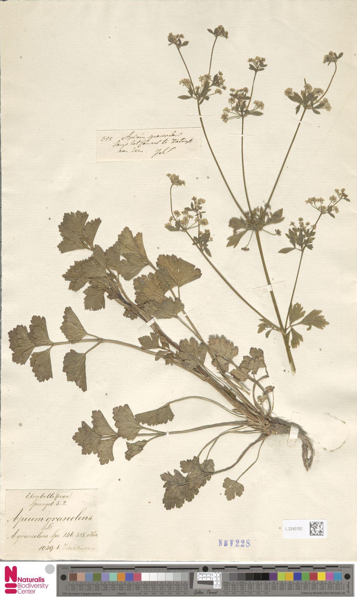 L.3340762 | Apium graveolens L.