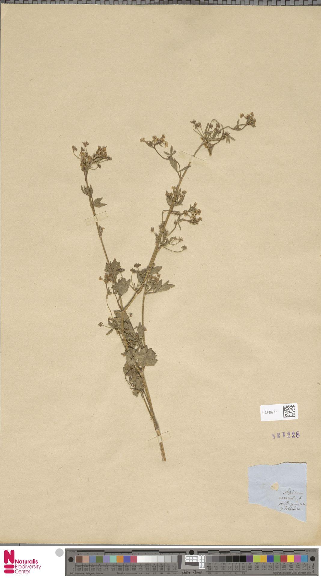 L.3340777 | Apium graveolens L.