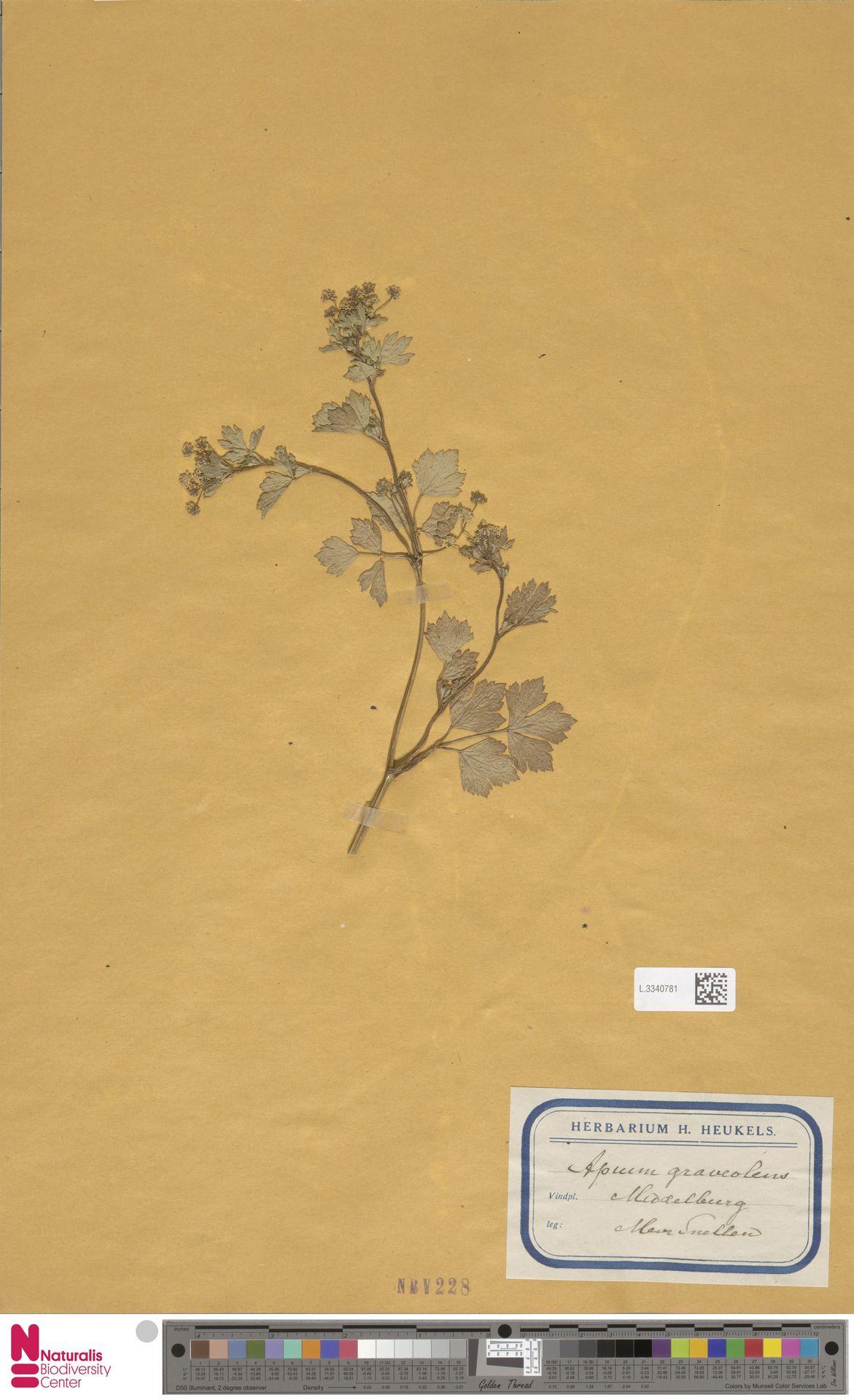 L.3340781 | Apium graveolens L.
