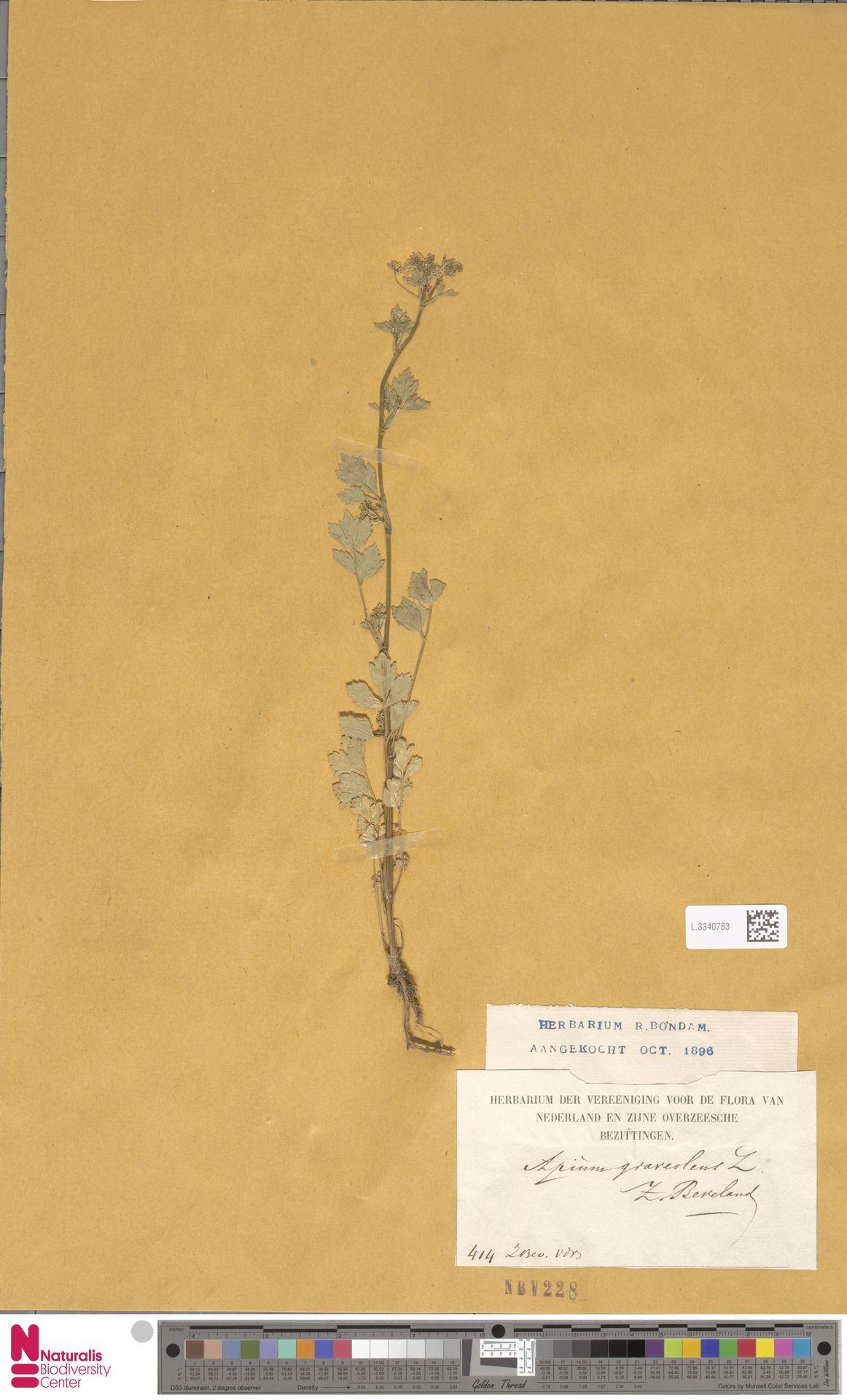 L.3340783 | Apium graveolens L.