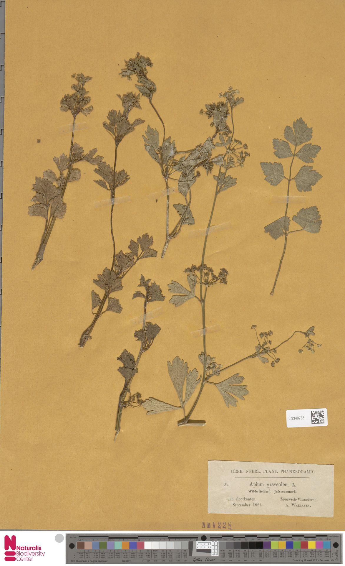 L.3340785 | Apium graveolens L.