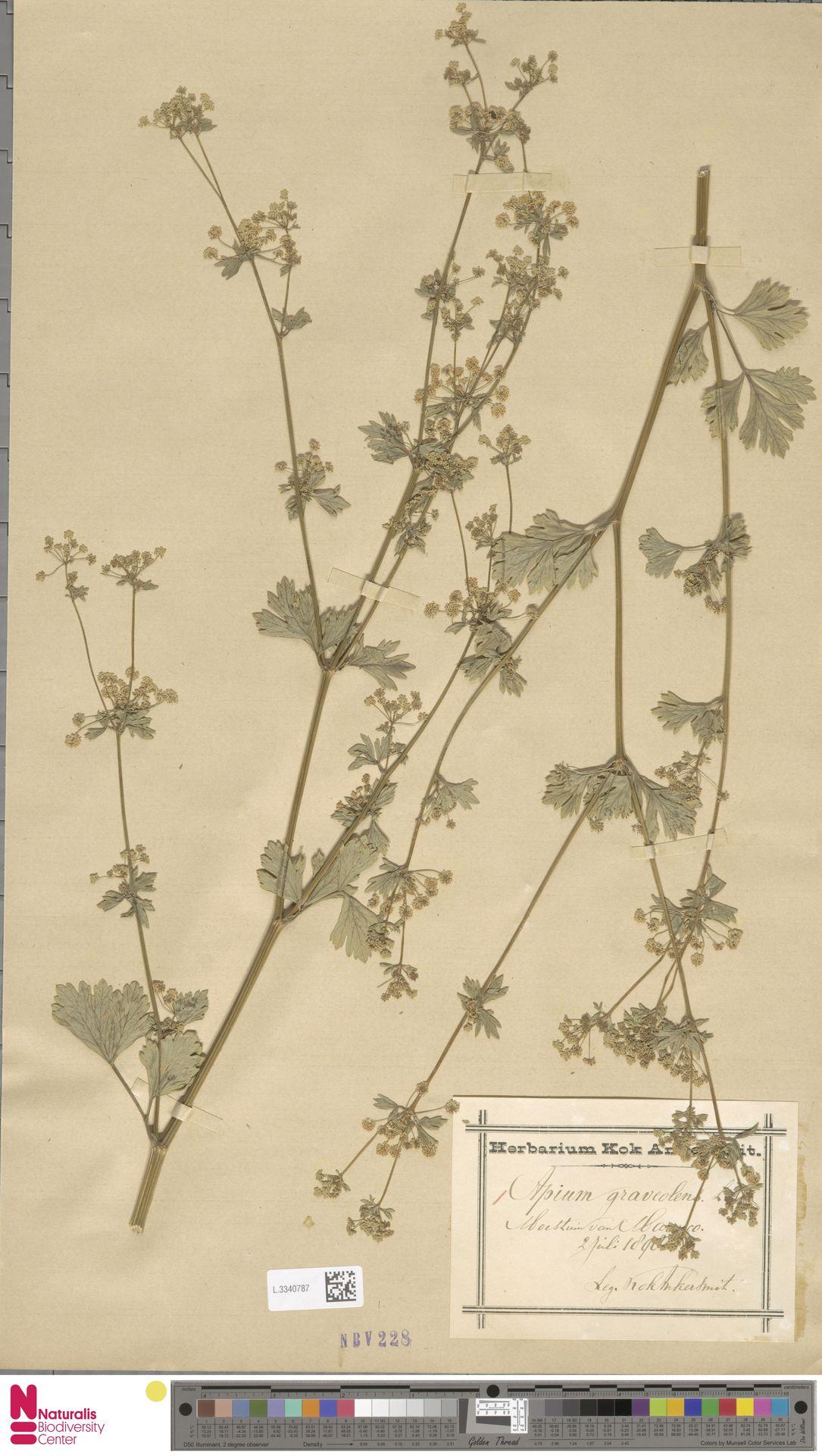 L.3340787 | Apium graveolens L.