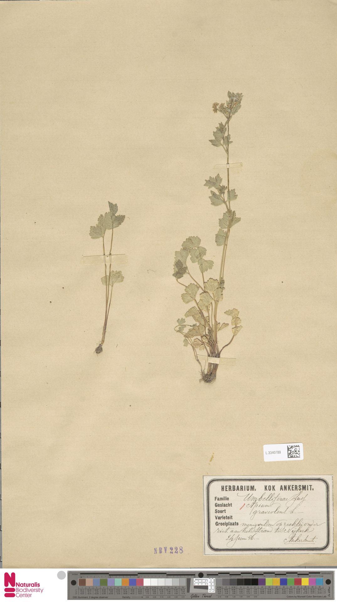 L.3340789 | Apium graveolens L.