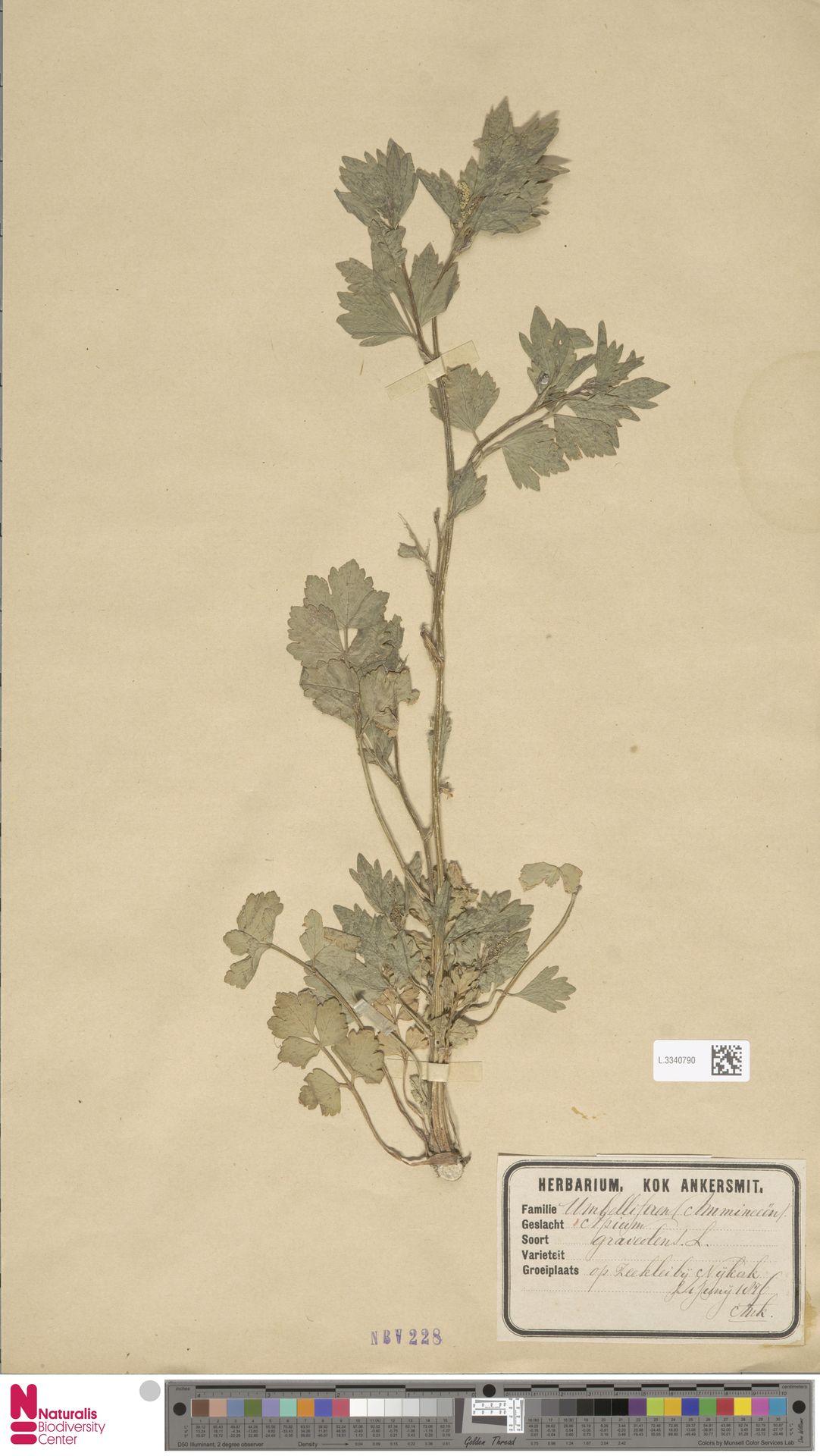 L.3340790 | Apium graveolens L.
