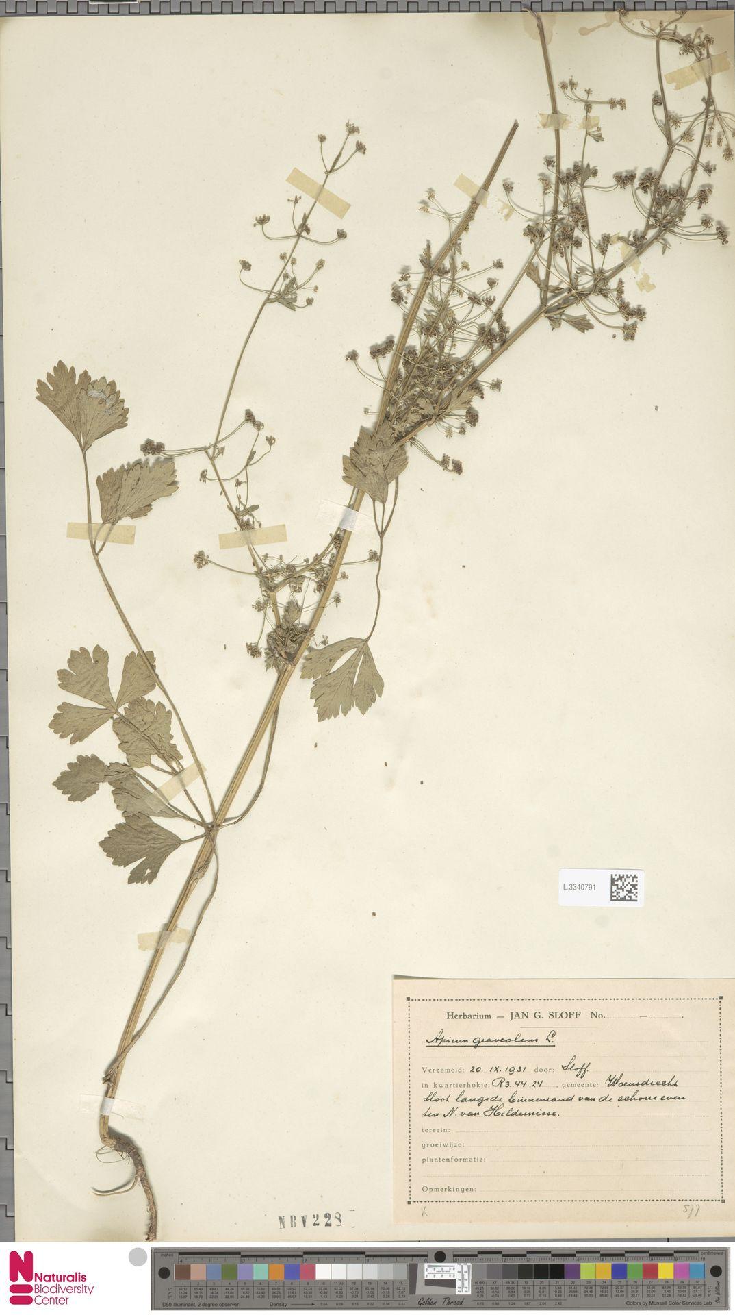 L.3340791   Apium graveolens L.