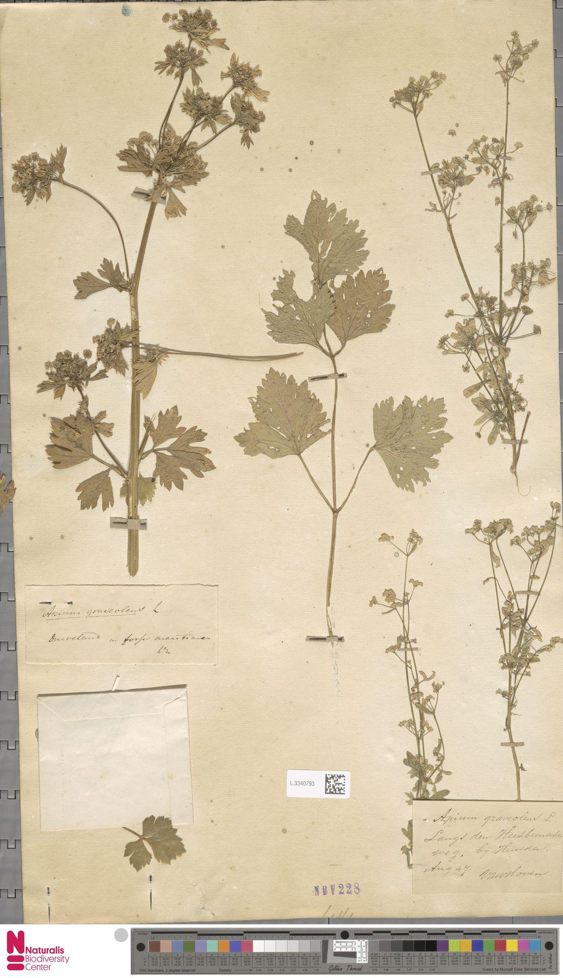 L.3340793 | Apium graveolens L.