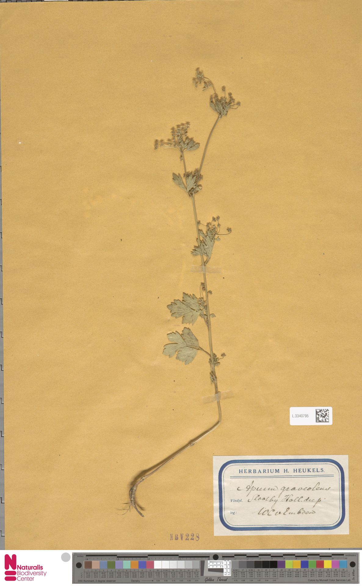 L.3340795 | Apium graveolens L.