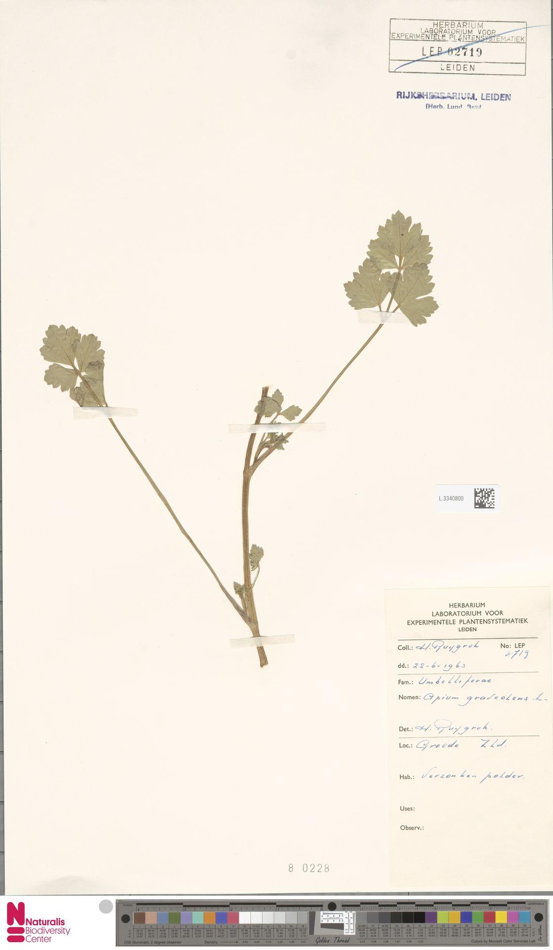 L.3340800   Apium graveolens L.