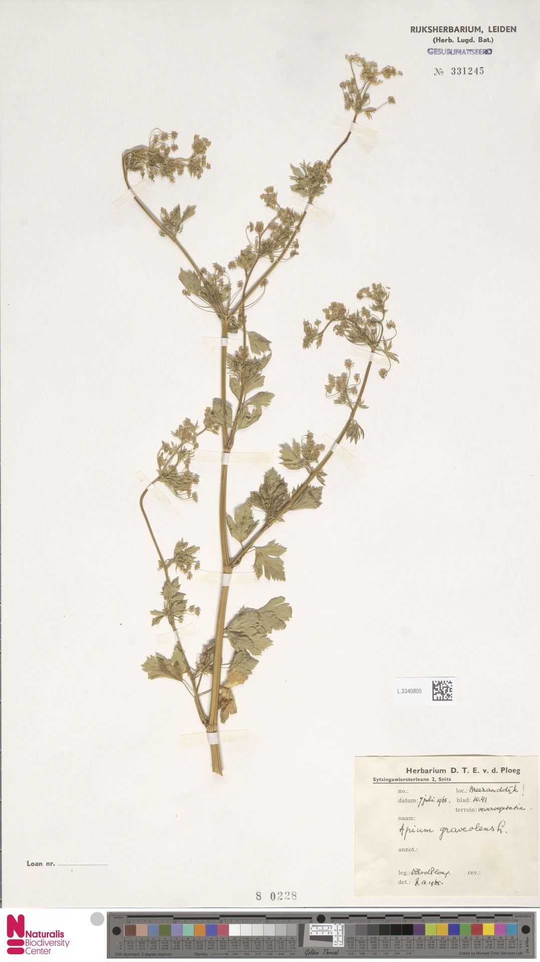 L.3340805 | Apium graveolens L.