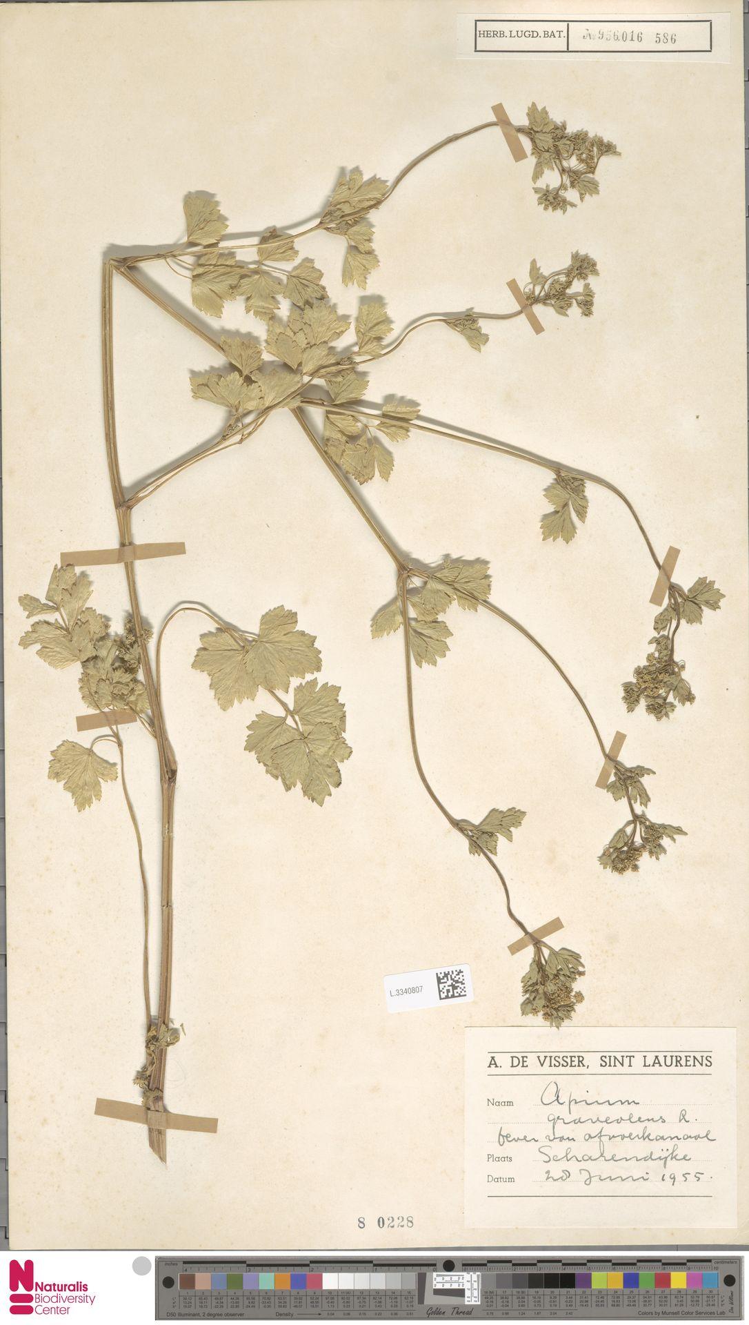 L.3340807   Apium graveolens L.
