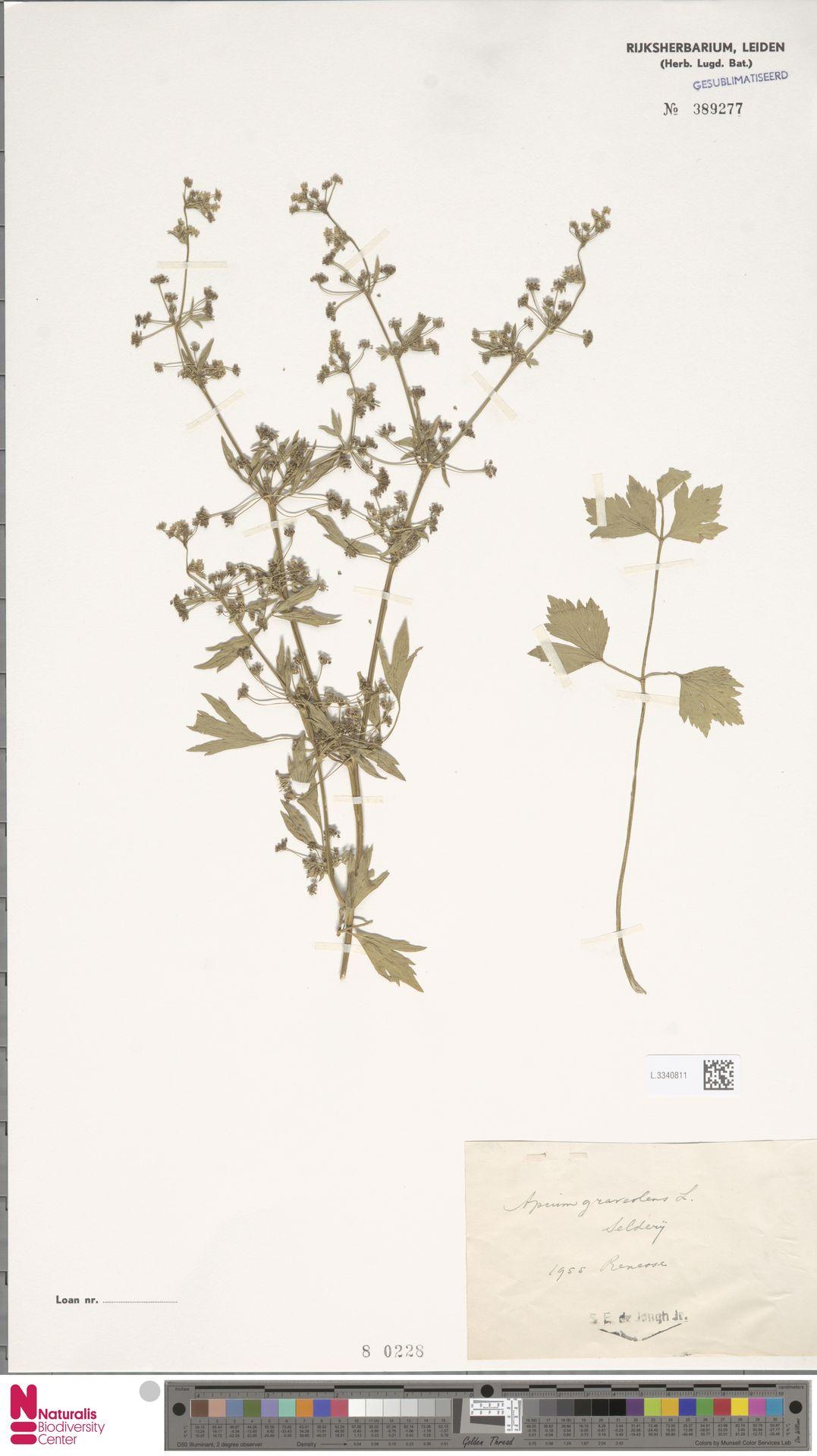 L.3340811 | Apium graveolens L.