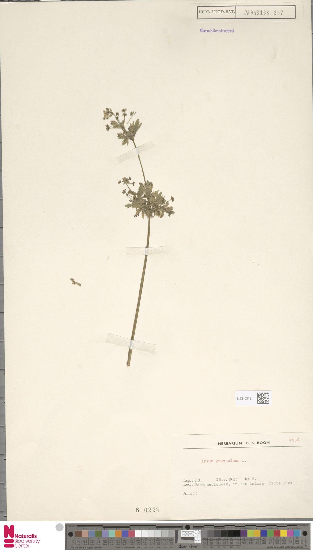 L.3340813 | Apium graveolens L.