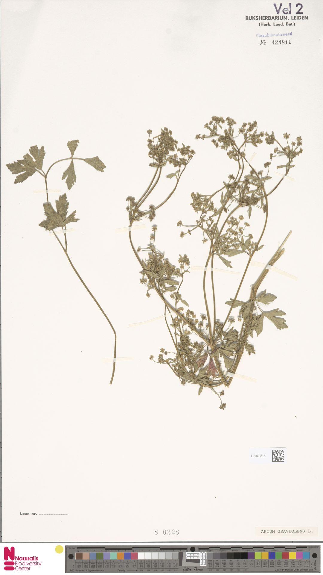 L.3340815 | Apium graveolens L.