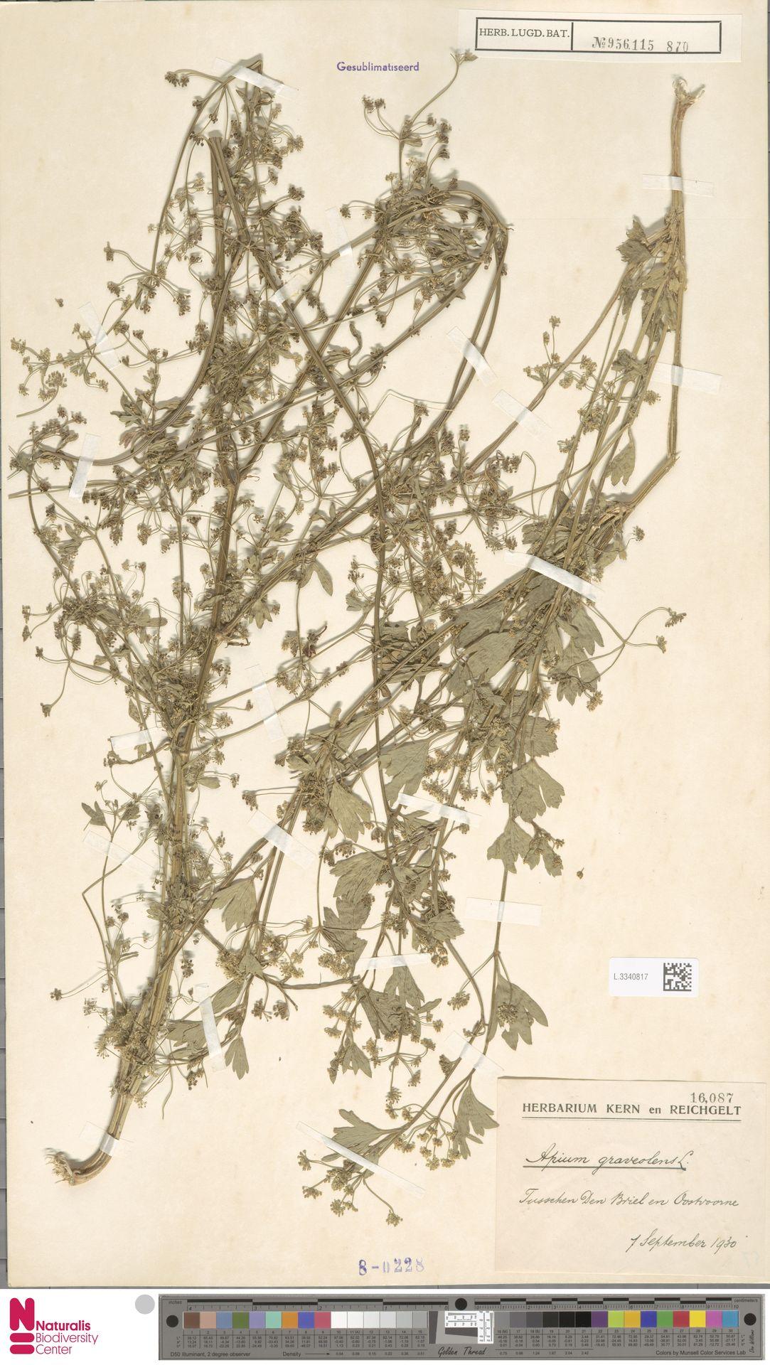 L.3340817 | Apium graveolens L.