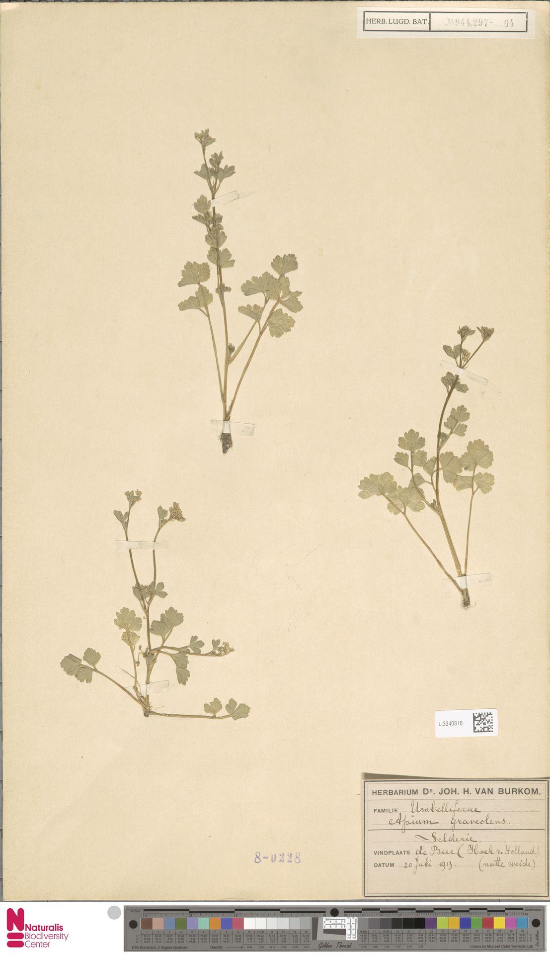 L.3340818 | Apium graveolens L.