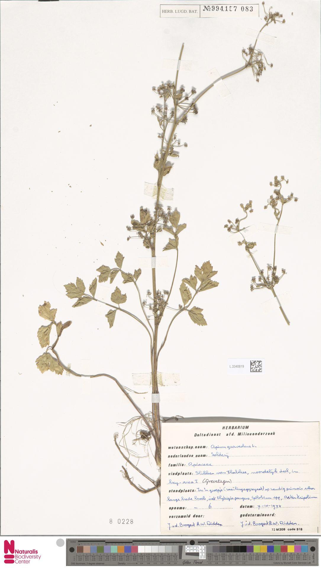 L.3340819 | Apium graveolens L.
