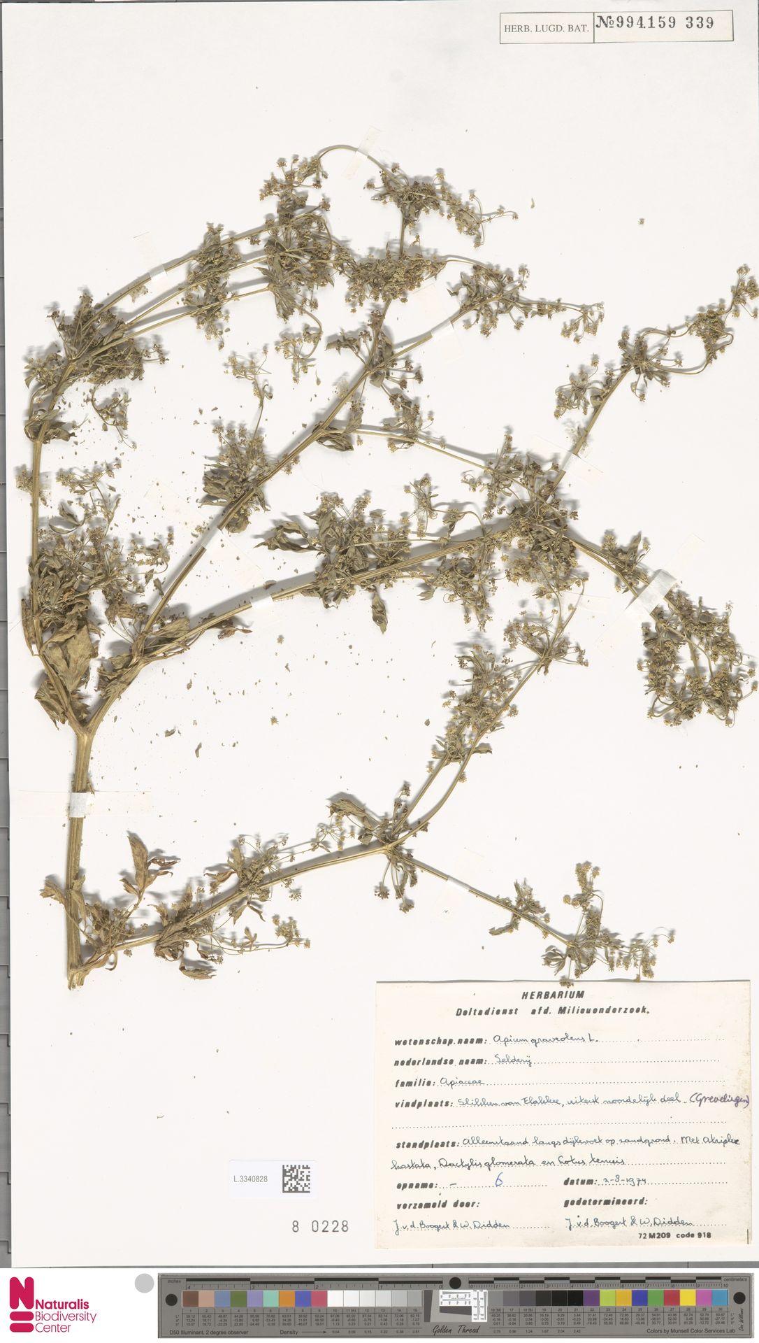 L.3340828 | Apium graveolens L.