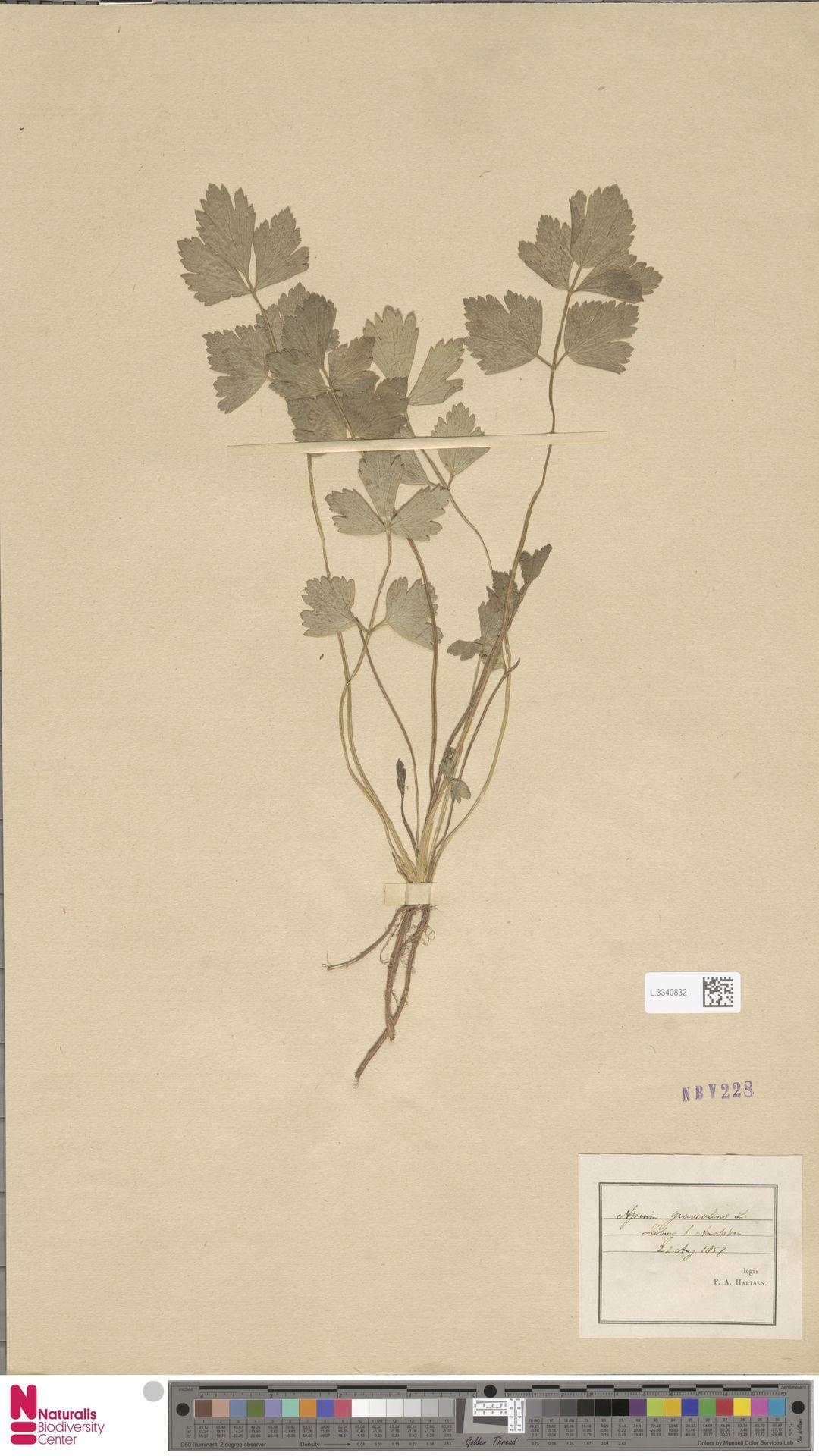 L.3340832 | Apium graveolens L.