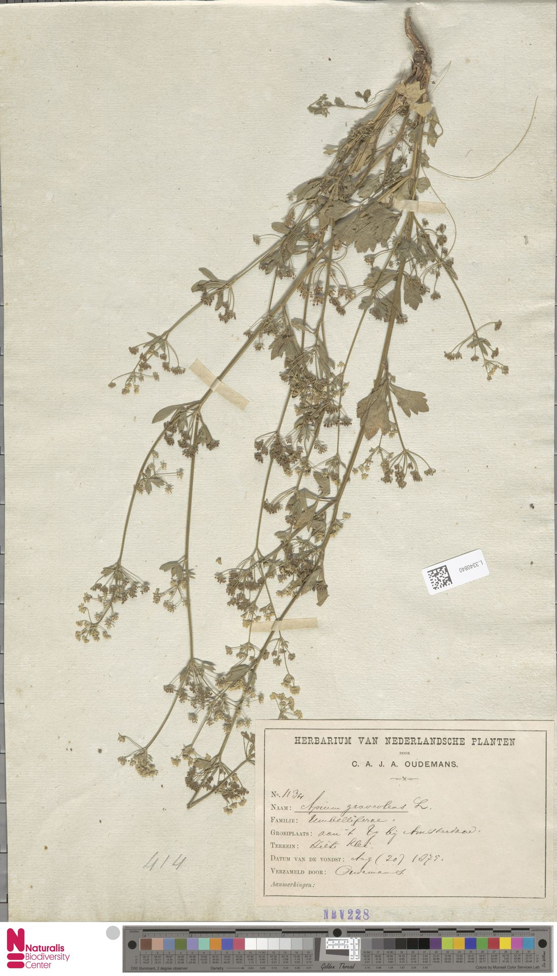 L.3340840 | Apium graveolens L.