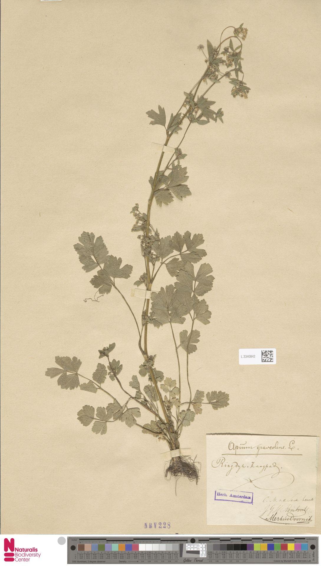 L.3340842   Apium graveolens L.