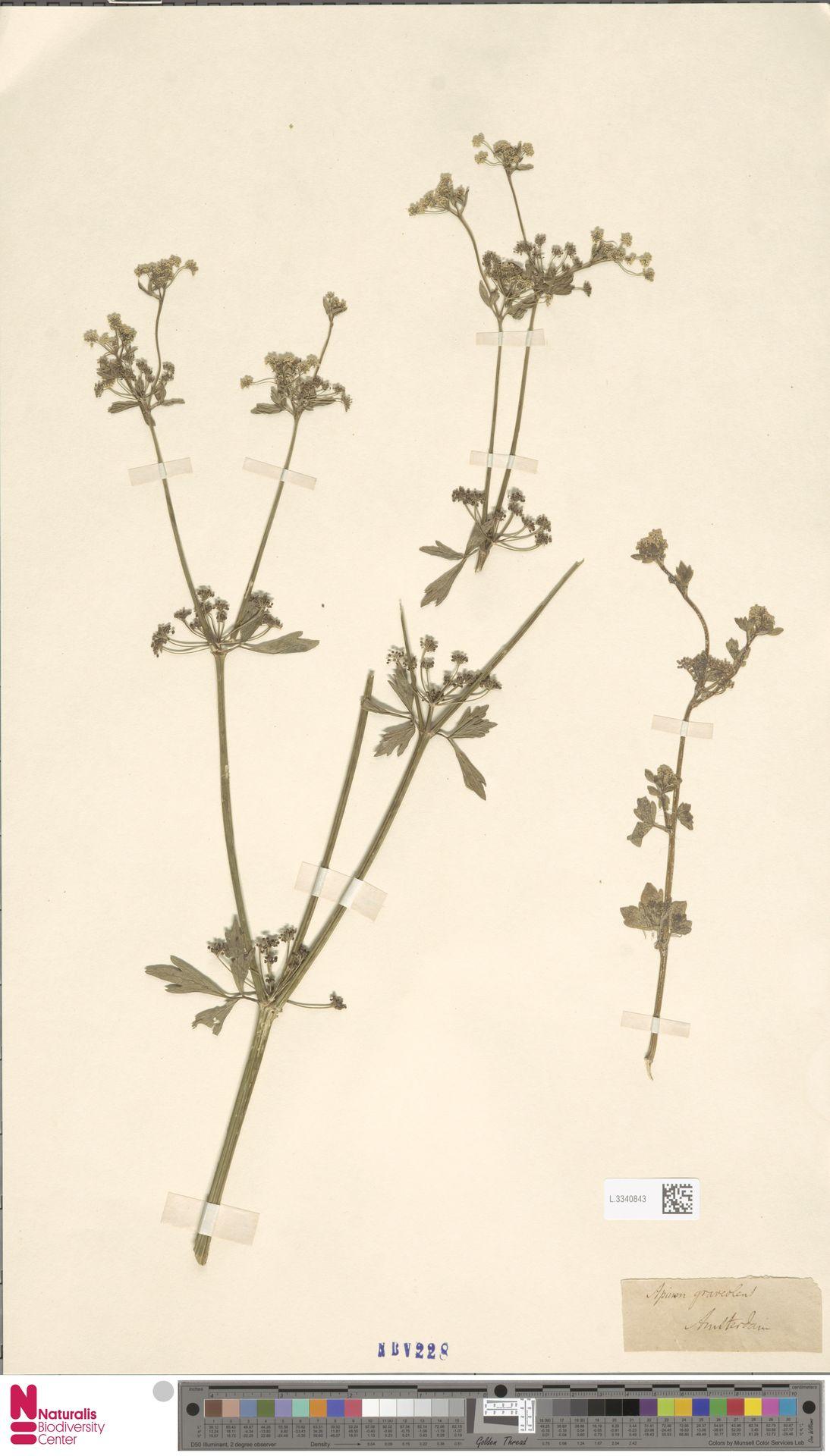 L.3340843   Apium graveolens L.